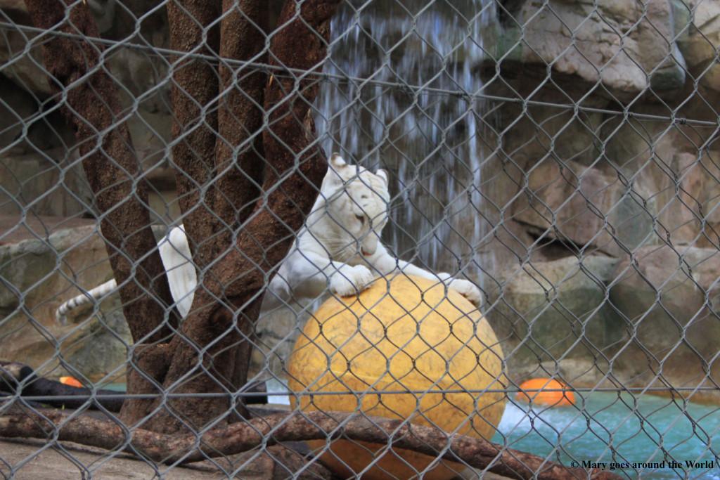 USA Rundreise - Las Vegas und Yosemite Nationalpark - Sigfried und Roy Habitat Weiße Tiger