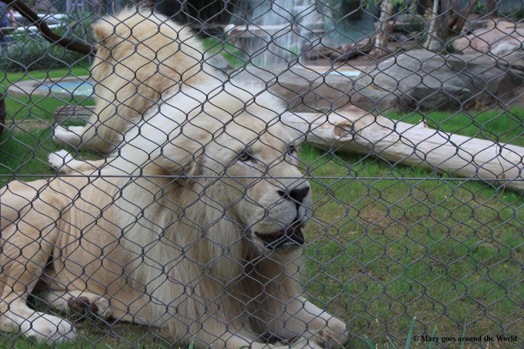 USA Rundreise - Las Vegas und Yosemite Nationalpark - Sigfried und Roy Habitat Weiße Löwen