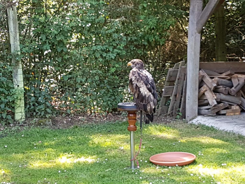 Wochenrückblick 21/ 2017 - Wildpark Frankenhof - Weißkopfseeadler